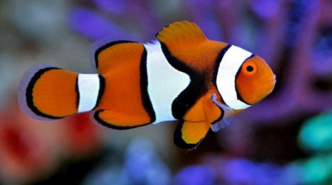 Great Clownfish