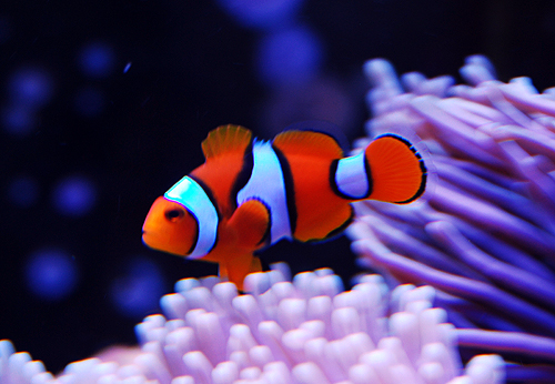 HD Clownfish