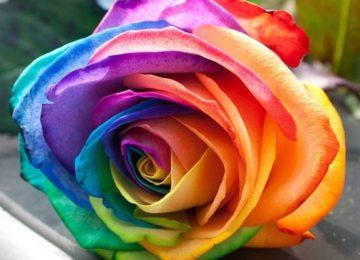 HD Colored Rose