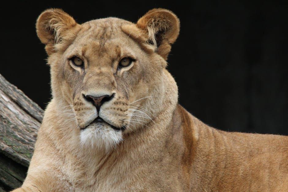 HD Lioness