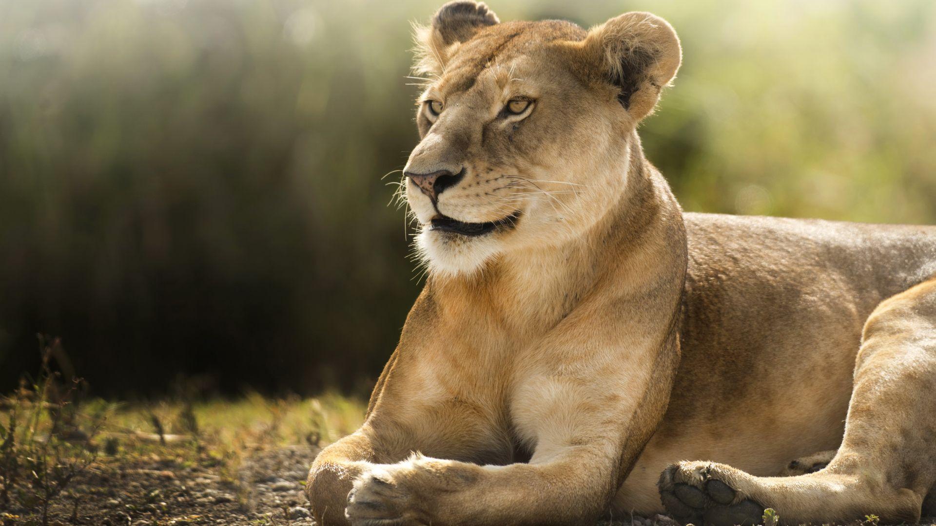 Nice Lioness