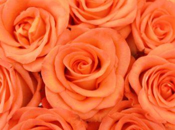 Nice Peach Rose
