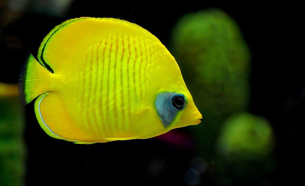 Nice Yellow Fish
