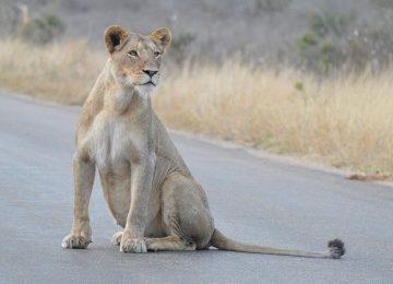Super Lioness