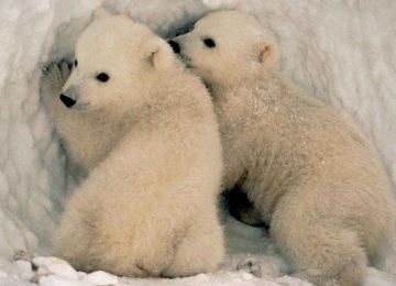 Awesome Polar Baby Bear