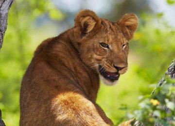Free Lion