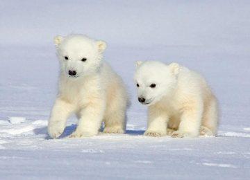 Free Polar Baby Bear