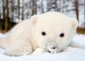 HD Polar Baby Bear