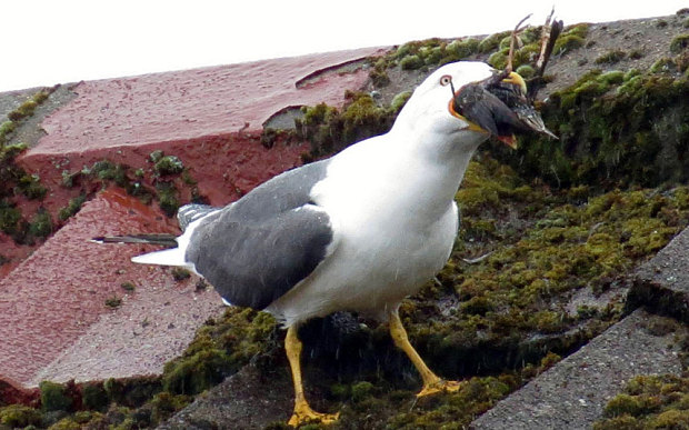 HD Seagull Bird
