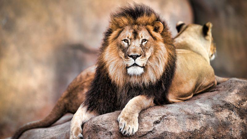 Nice Lion