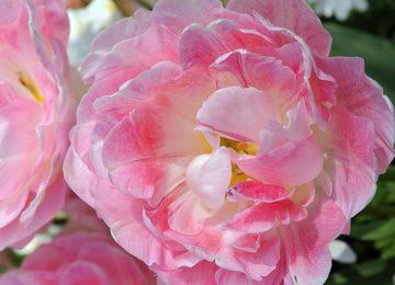 Best Peach Flower