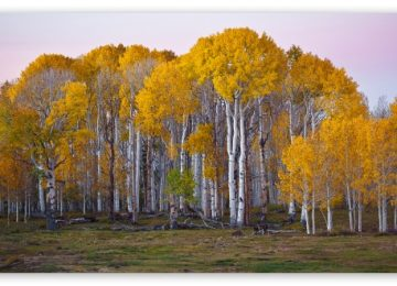 HD Yellow Tree