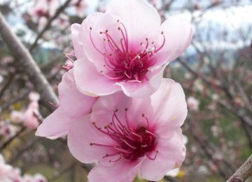 Super Peach Flower