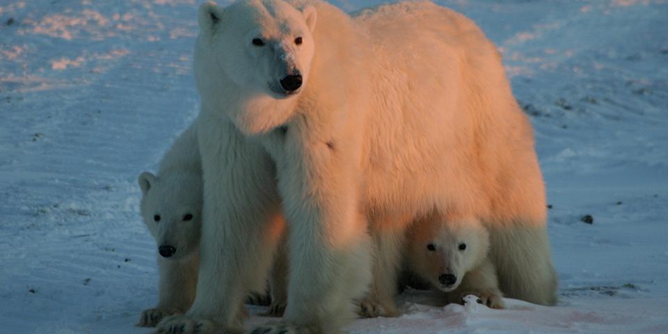 Brown Polar Bear