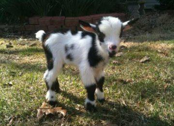 Free Baby Goat