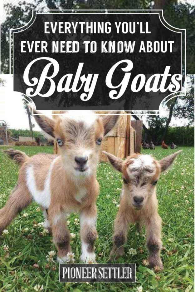 Nice Baby Goat