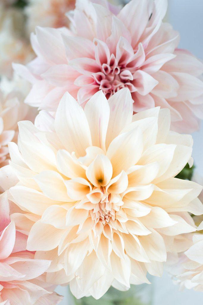 Awesome Pink Dahlia