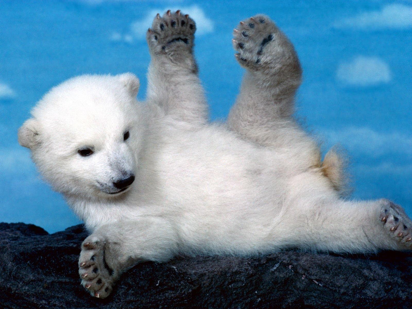 Free Polar Bear Wallpaper