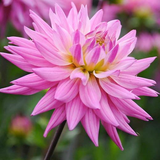 HD Pink Dahlia