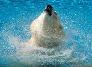 HD Polar Bear Wallpaper