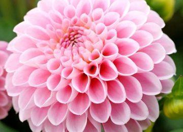 Natural Pink Dahlia