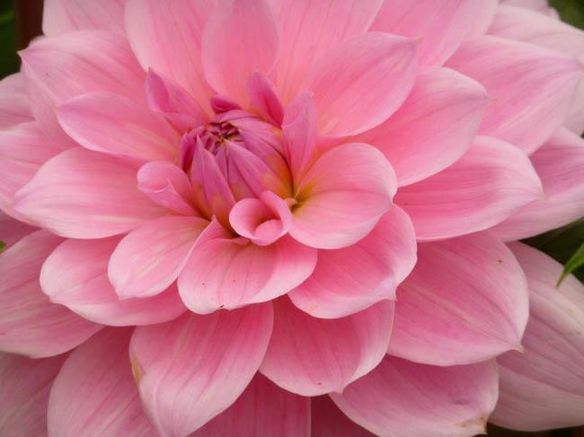 Super Pink Dahlia