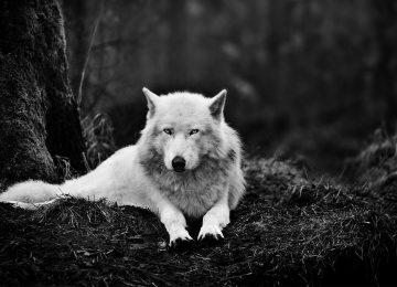 Best Wolf Wallpaper