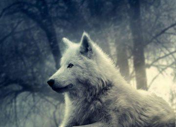 Free Wolf Wallpaper