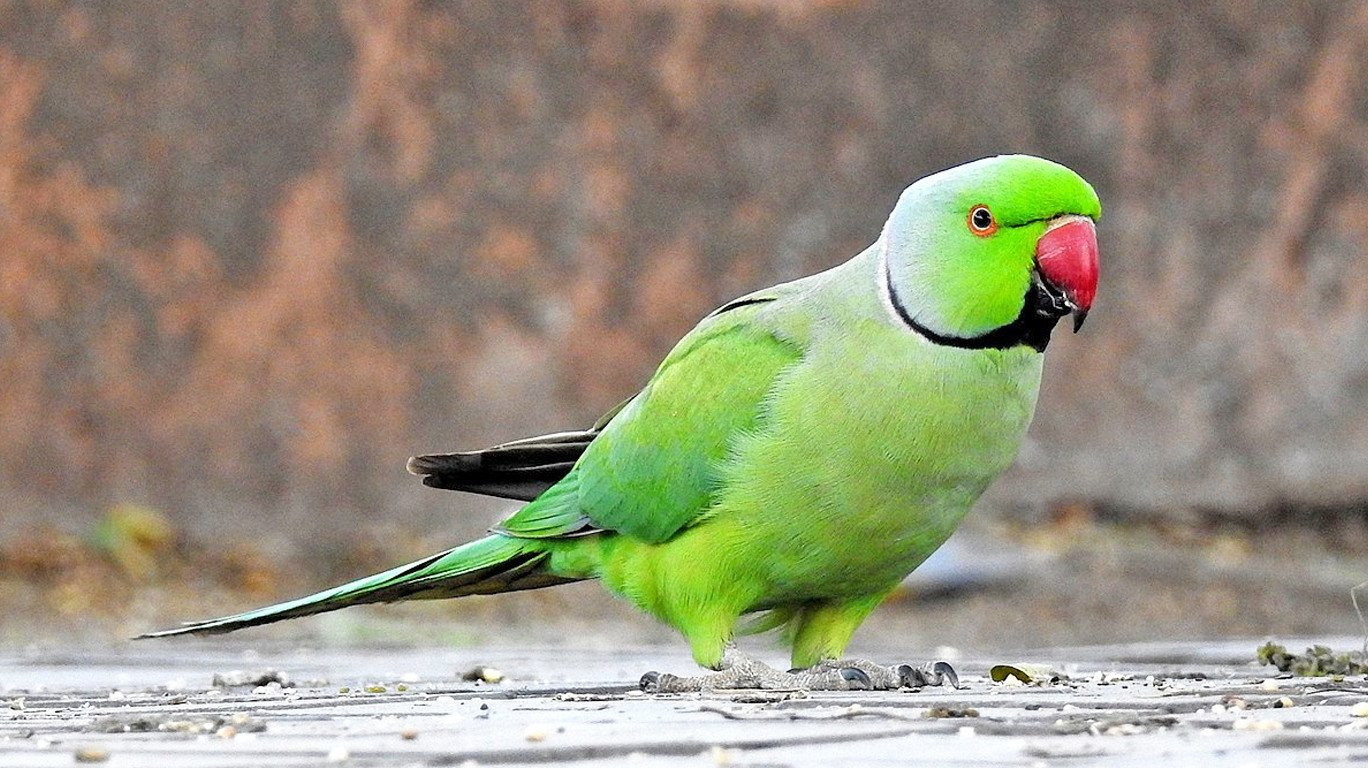 HD Parrot Image