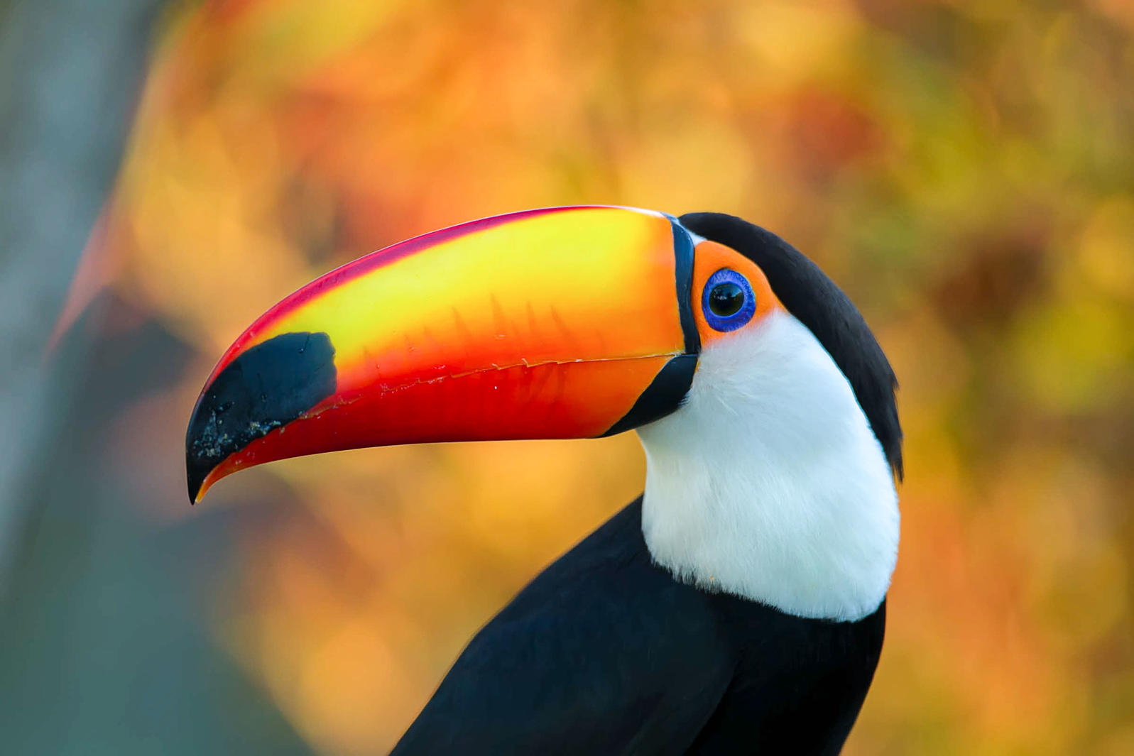 Free Toucan Bird