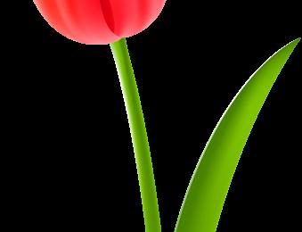 Nice Red Tulip