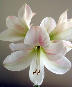 Stunning White Lily