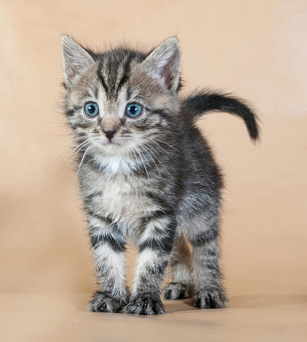 Beautiful Striped Kitten