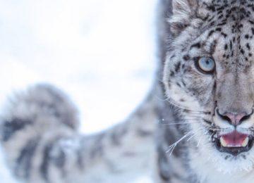 Nice Snow Leopard