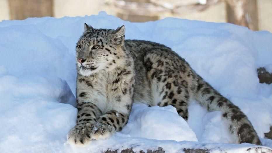 Top Snow Leopard