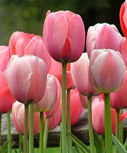 Cool Tulip Flower