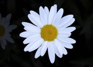 Free Daisy Flower