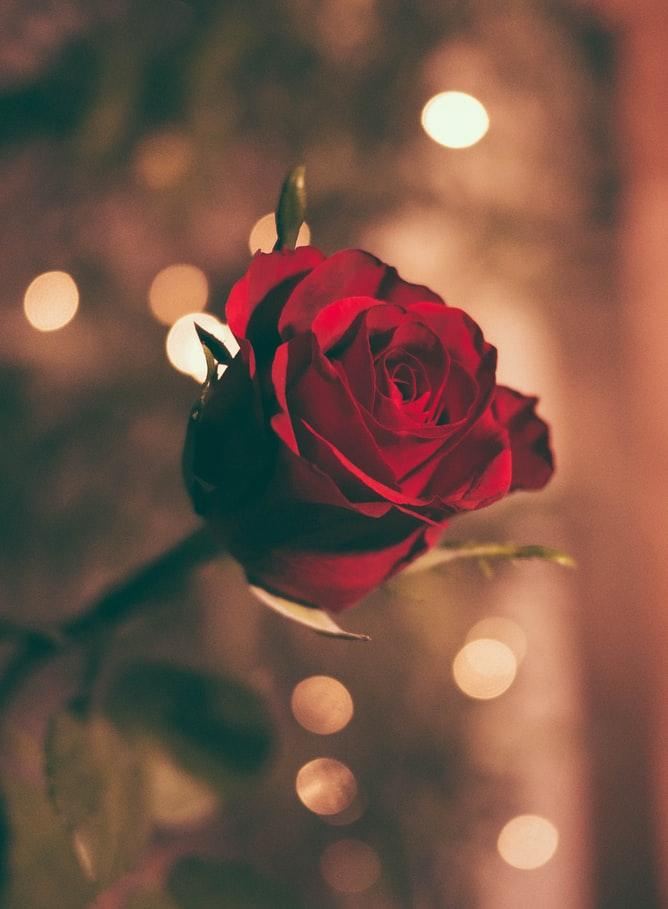 Top Red Rose