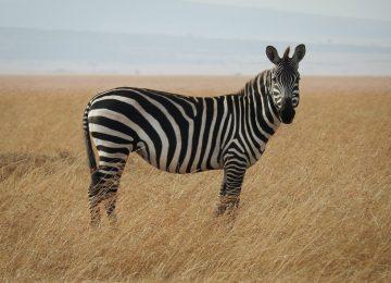 Beautiful Zebra Image