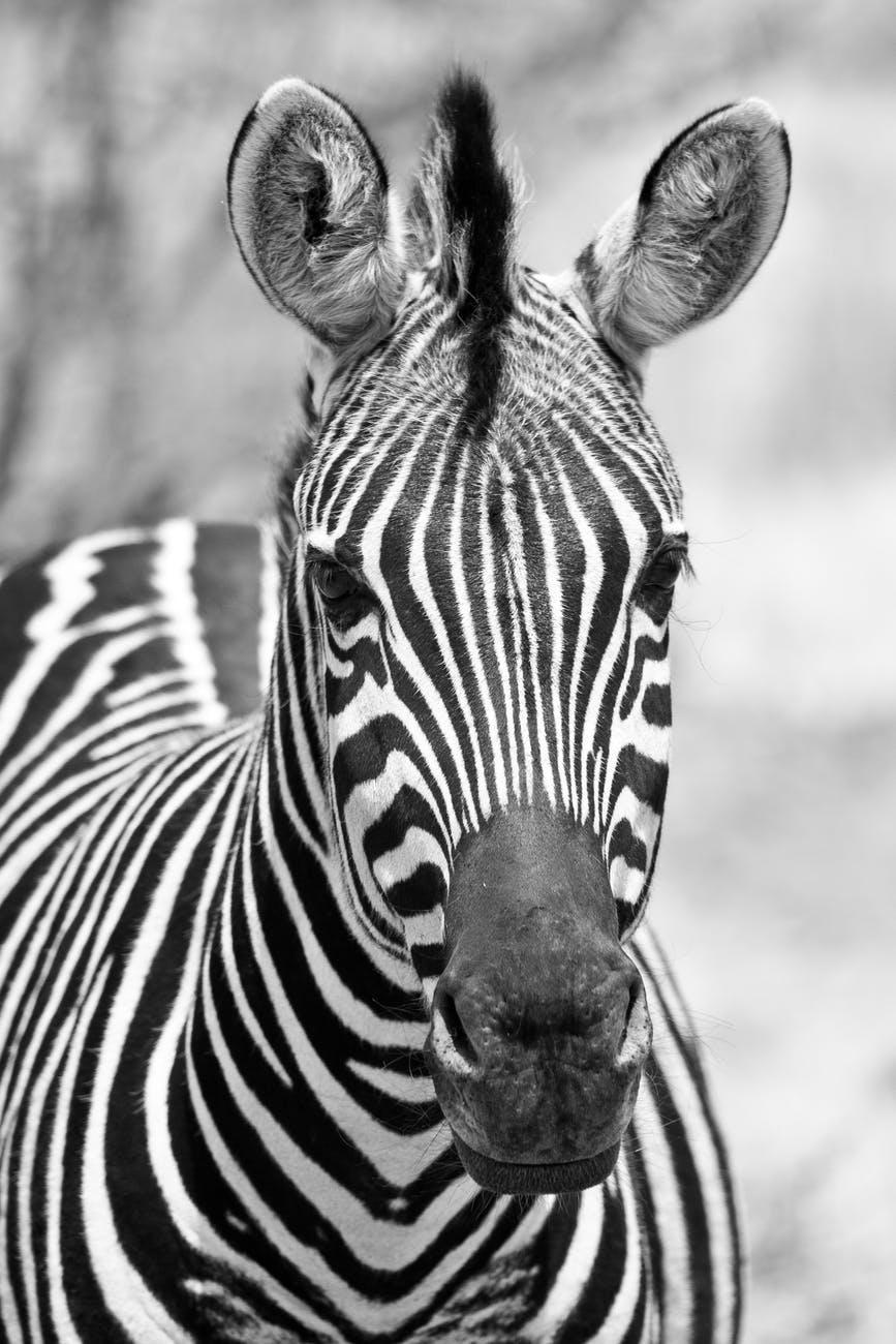 Black And White Zebra Image