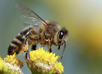 Free Bee Image