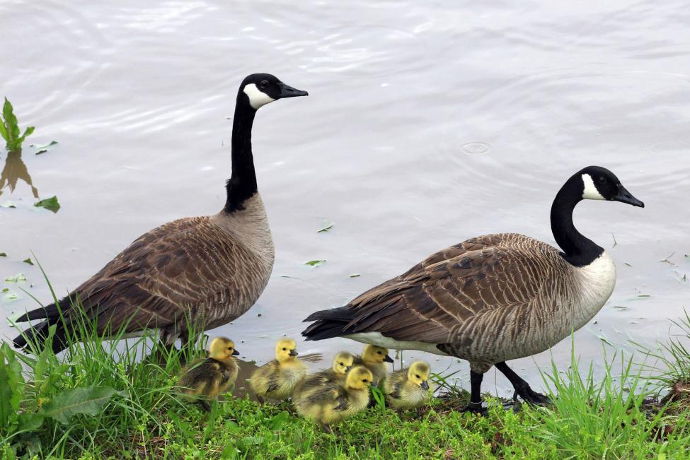 HD Geese Image