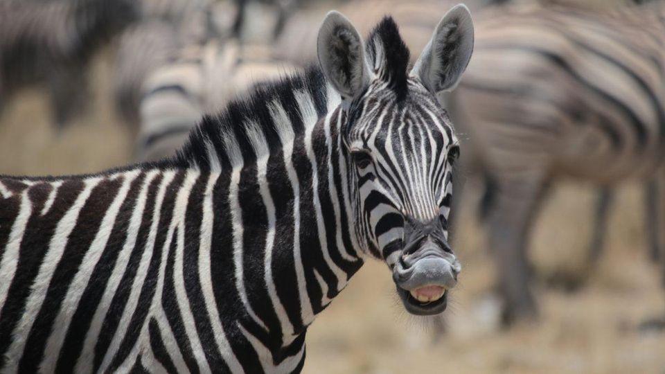 Super Zebra Image