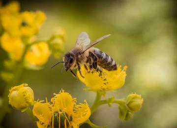 Widescreen Bee Image