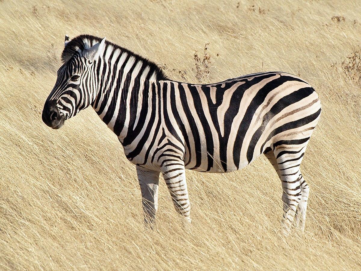 Widescreen Zebra Image