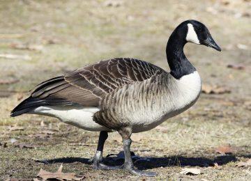 Wonderful Geese Image