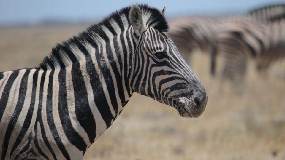 Wonderful Zebra Image