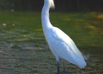 Beautiful White Heron