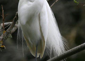Free White Heron