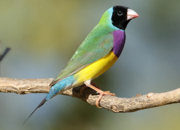 Nice Finch Image